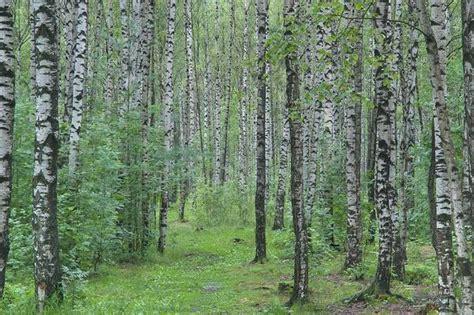 birch tree rubber st slideshow 869 22 birch trees in sosnovka park in st