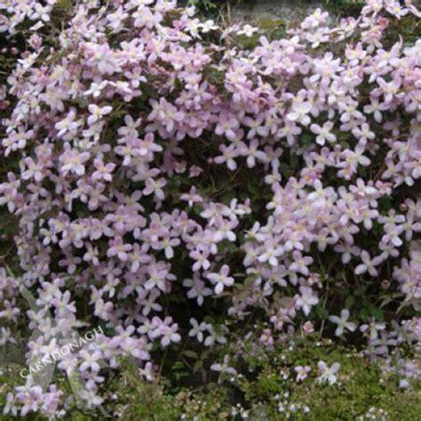 clematis montana elizabeth carndonagh nursery amp garden