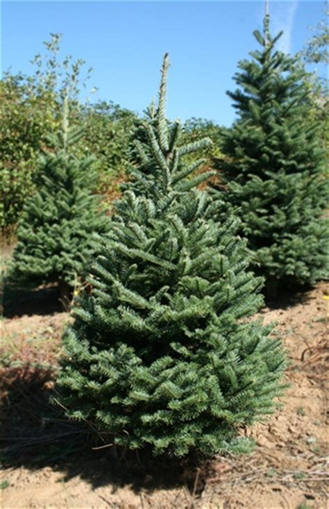 noble tree 4 5 to 5 ft noble fir tree green valley