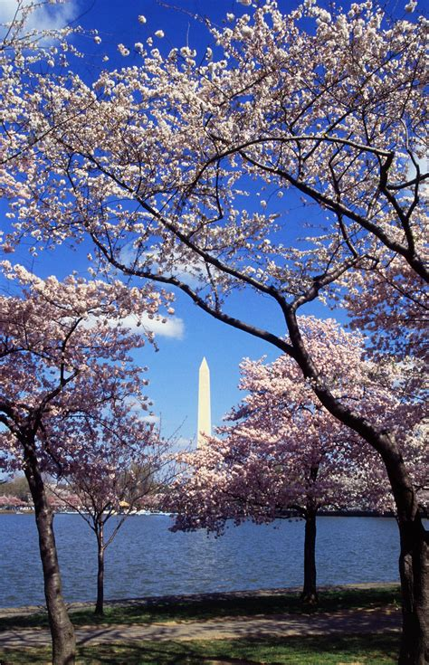 tree c file washington c d c tidal basin cherry trees jpg