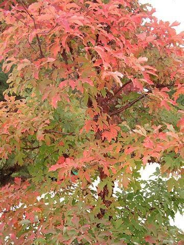 maple tree clay soil 249 best s favorite trees images on plants garden plants and patio plants