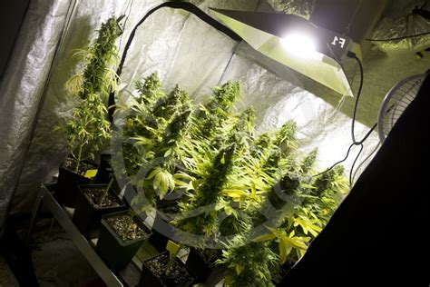 bases essentielles pour culture de cannabis en int 233 rieur philosopher seeds