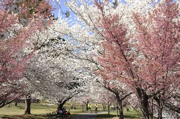 newark s cherry blossoms thrive with rutgers help rutgers today