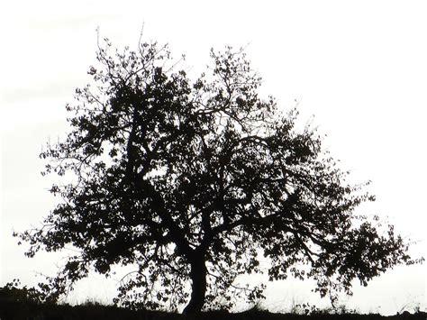 black mini tree free photo tree silhouette black and white free image
