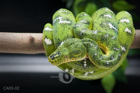 arboreal reptiles | females Arboreal Snakes