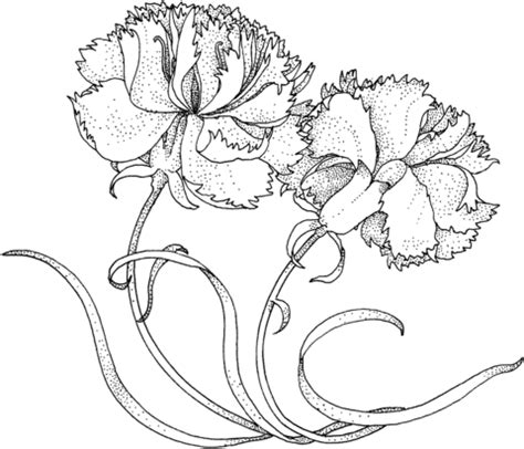 two carnations coloring page supercoloring com
