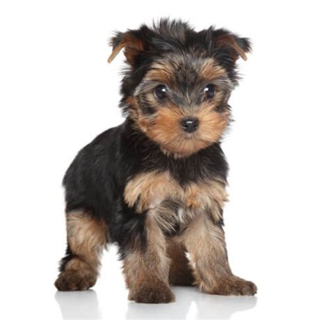 yorkshire terrier sale yorkie puppies for sale tiny teacup and cute ct breeder