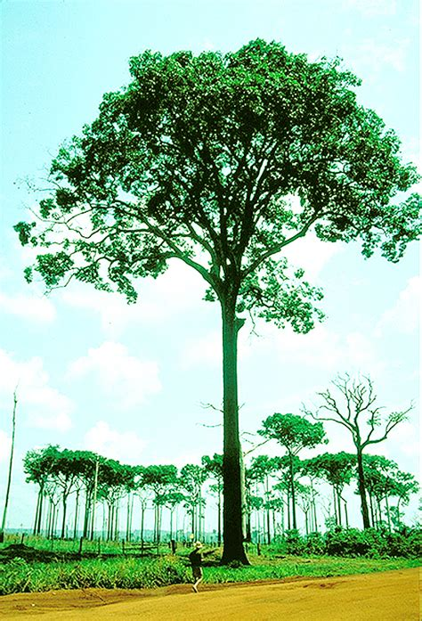 tree in brazil brazil nut stabroek news