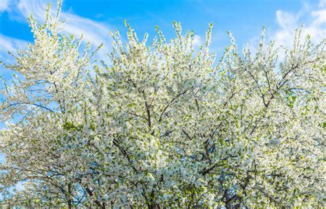 Garten Pflanzen Womit Düngen by Kirschbaum D 252 Ngen 187 Womit Wann Und Wie