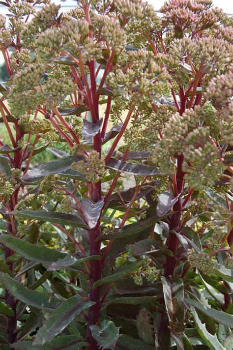 Home Growers Nursery by Photo 17556 Sedum Garnet Brocade Pp16350 Plant Lust