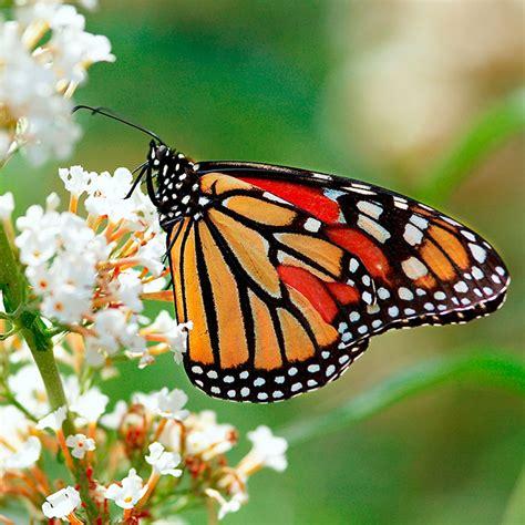 a butterfly plant a butterfly garden