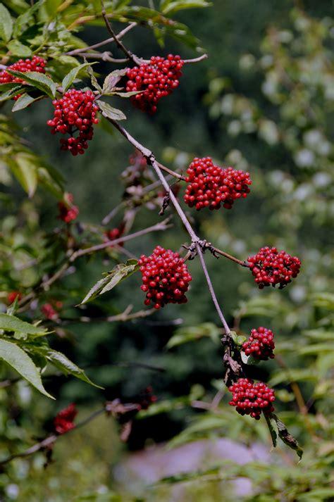 Baum Mit Roten Blättern 136 by Datei Roter Holunder Jpg