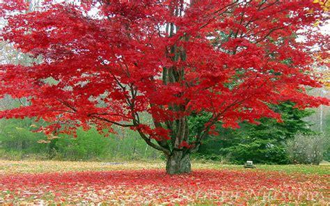 maple tree naples