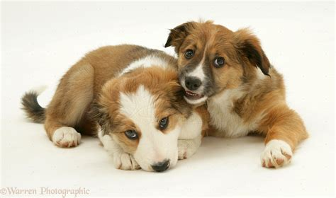 Dogs: Border Collie pups photo - WP13133
