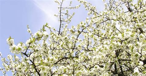 the best time to prune cherry trees ehow uk