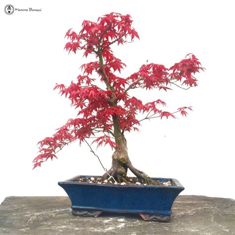 maple bonsai tree uk deshojo maple bonsai tree herons bonsai