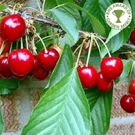 stella cherry tree sweet cherry trees for sale