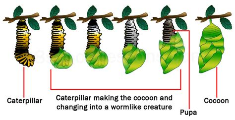 of a butterfly cycle of a butterfly science lessons for the