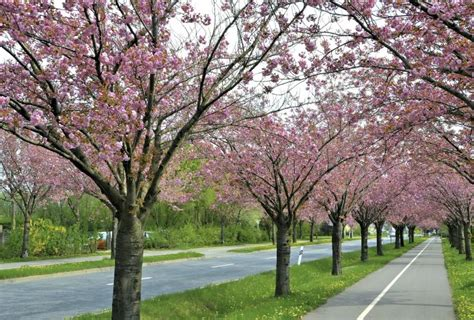 japanese cherry tree facts with pictures ehow