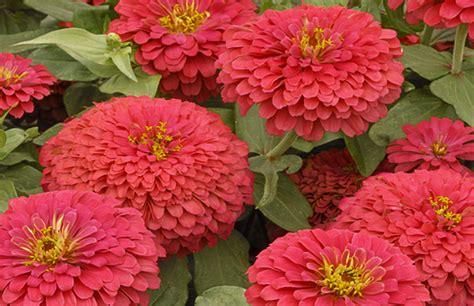 zinnia flower garden marigolds and zinnias for southern california gardens