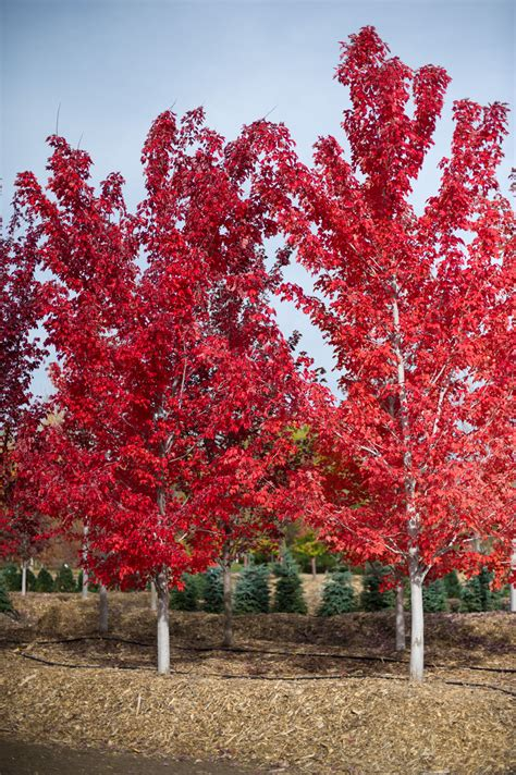 maple tree all year maple october for sale in boulder colorado