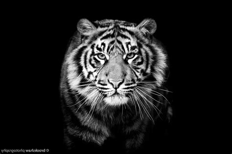 monochrome animals animals tiger monochrome wallpapers hd desktop and