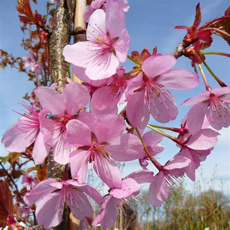 k cherry tree prunus sargentii rancho buy upright sargents cherry tree blossom