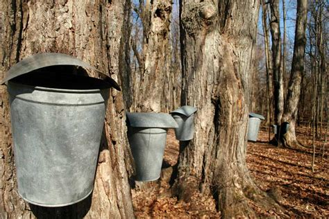 5 steps to make maple syrup