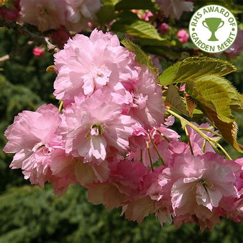 pink tree uk prunus pink perfection buy flowering cherry blossom trees