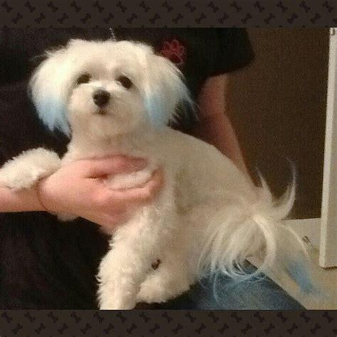 boy maltese haircuts 1000 ideas about super cute puppies on pinterest cute