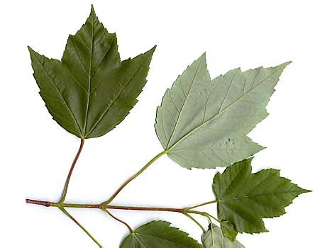 maple tree leaves how to identify maple trees waterford citizens association wca of waterford virginia