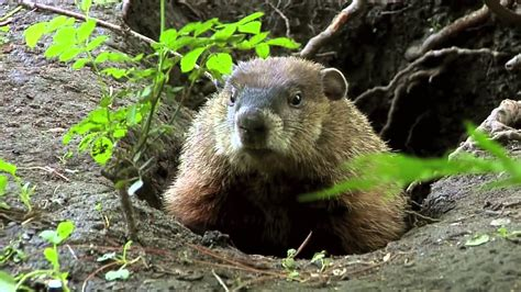 groundhog day keep the talent happy true facts about the groundhog