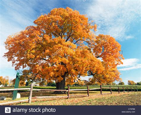 canada ontario fonthill the comfort maple one of the oldest trees in stock photo royalty free