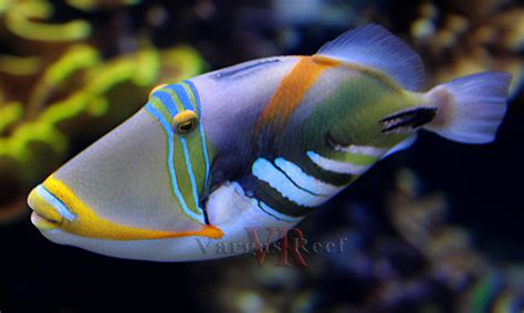 picasso paintings fish picasso triggerfish search fish