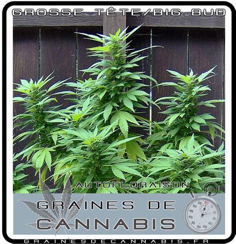graines de cannabis autofloraison pour l ext 233 rieur