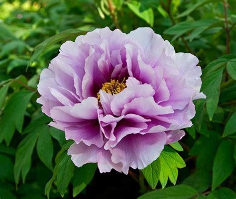 peonies in season growing peonies to perfection interflora