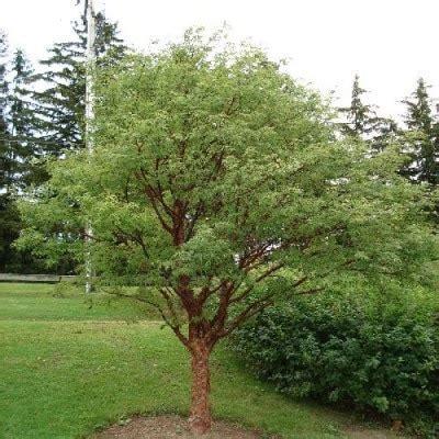 paperbark maple tree seeds treeseeds