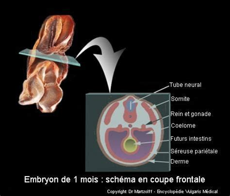 image photo embryon de 1 mois sch 233 ma en coupe frontale embryologie vulgaris m 233 dical