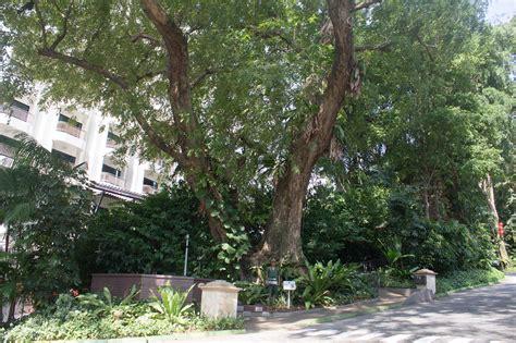 singapore tree singapore tree