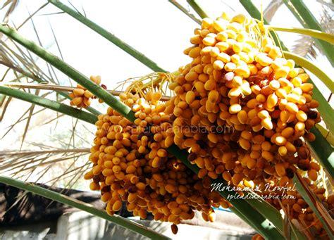 national tree dates dates of saudi arabia