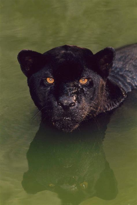 world of reading black panther this is black panther level 1 what s a black panther really