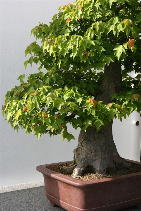 small potted trees trees in containers how to grow container trees