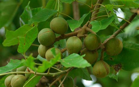 kukui nut sunburn eczema secret solution from hawaii kukui