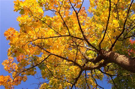 maple tree fertilizer how to fertilize maple trees garden guides