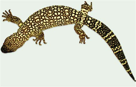 beaded lizard horridum angeli beaded lizards heloderma horridum