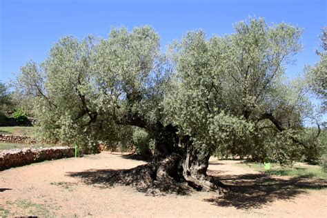 visiting the world s oldest olive trees an insider s