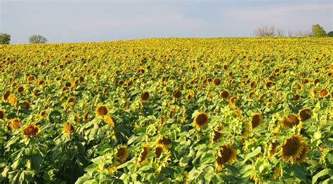 sunflowers in kansas grinter s sunflower farm kansas