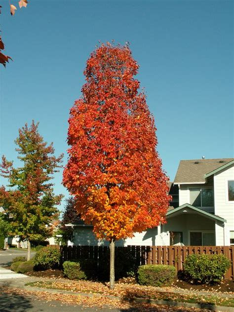 maple tree zone shade and flowering trees for sale in boise