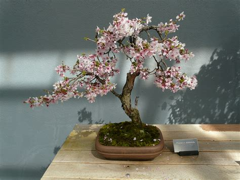 a cherry tree bonsai 2404317605 d04c5e39eb z jpg