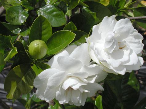 Gardenia Images File Gardenia Plant In Bloom 001 Jpg The Work Of God S